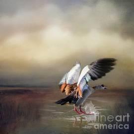 Egyptian Goose Landing by Eva Lechner
