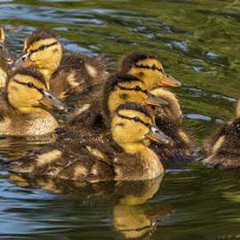 Eight Ducklings by Marv Vandehey