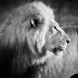 Elder Lion Monochrome by Adam Romanowicz