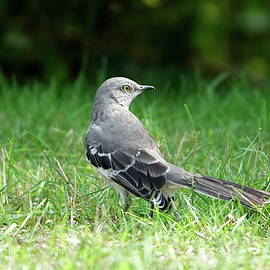 Elegant Northern Mockingbird by Lyuba Filatova