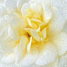 Elegant White Rose by Jerry Abbott
