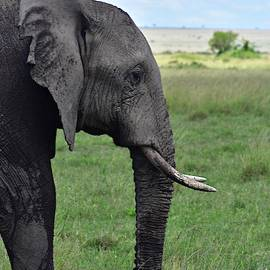 Elephant Side Portrait  by Marta Kazmierska