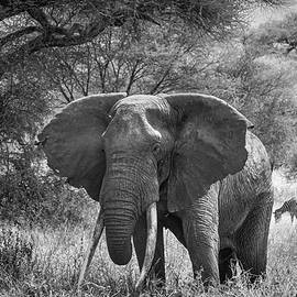 Elephant Tarangire National Park Tanzania by Mary Lee Dereske