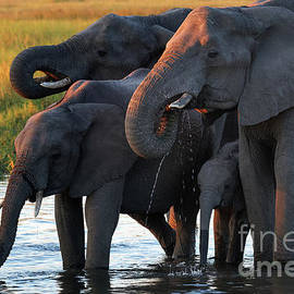 Elephants Drinking in Waterhole at Sunset in Okavango Delta of Botswana by Tom Schwabel
