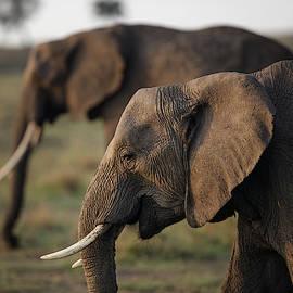 Elephants in dawn light by Murray Rudd