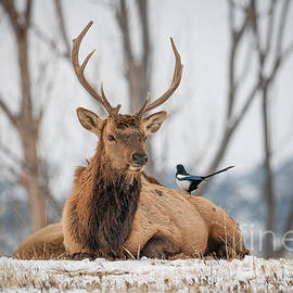 Elk and Magpie  by Christopher Thomas