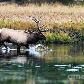 Elk Crossing by Wildlife Fine Art