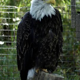Emboldened- Majestic Eagle