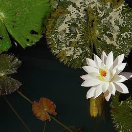 Enchanting Water Lilies In Laos 6 by Aarti Bartake