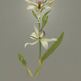 Encyclia Fragrans Orchid by Spadecaller