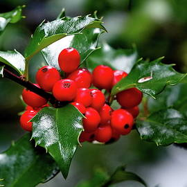 English Holly Berry by Lyuba Filatova