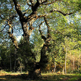English Oak by Bill Lee