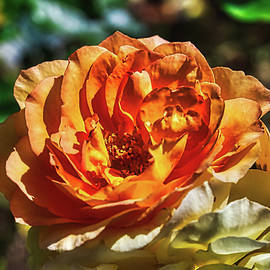 Enthusiastic Orange Rose  by Stacy Williams