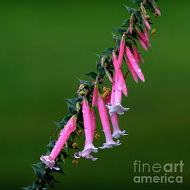 Epacris Nectar Pink by Neil Maclachlan