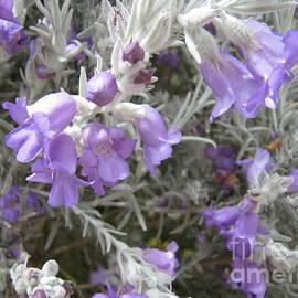 Eremophila 'drumundi' native, our garden. Mount Pleasant. by Rita Blom