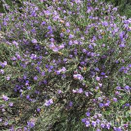 Eremophila nivea covered in flowers. Australian Native shrub.  by Rita Blom