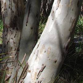 Eucalypt Bark at Mount Macedon War Memorial Reserve
