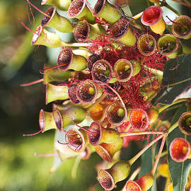 Eucalyptus Corymbia Ficifolia After Flowers  by Joy Watson