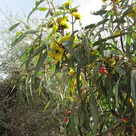 Eucalyptus erythrocorys lilyarrie Australian Native.  by Rita Blom