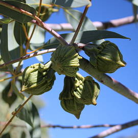 Eucalyptus Flower Buds by Michaela Perryman