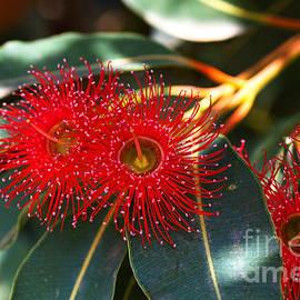Eucalyptus Flowers And Leaves by Joy Watson