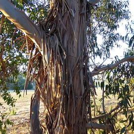 Eucalyptus globulus Tasmanian Blue Gum Ribbon Bark. by Rita Blom