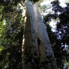 Eucalyptus grandis Reaching to the sky. Twin Giants. Queensland. by Rita Blom