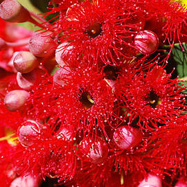 Eucalyptus Red Corymbia Ficifolia Flowers by Joy Watson