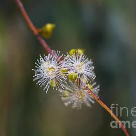 Eucalyptus Tiny White Flowers  by Joy Watson