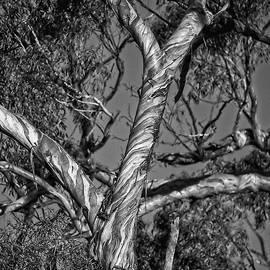 Eucalyptus Tree, Canberra, Australia by Steven Ralser
