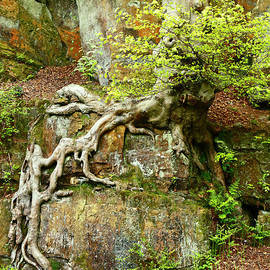 European Beech Tree Roots and Sandstone Rock Outcrop by James Brunker