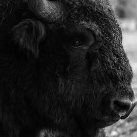 European Bison closeup by Dane Walker