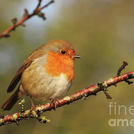 European Robin in Donegal 107 by Eddie Barron