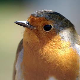 European robin Wareham Dorset by Loren Dowding