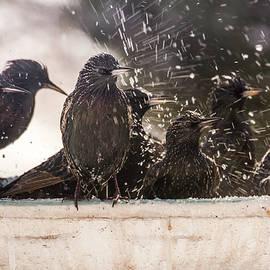 European Starling  Bath House by John Bartelt