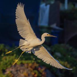 Evening Egret in Flight 10/9 by Bruce Frye