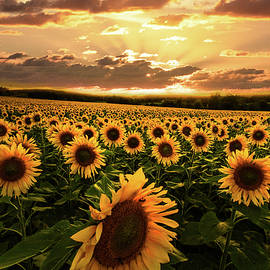 Evening Sunset Sunflowers by Debra and Dave Vanderlaan