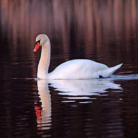 Evening Swim Mute Swan by Debbie Oppermann