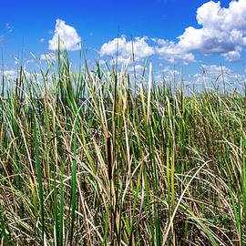 Everglades Sawgrass by Blair Damson