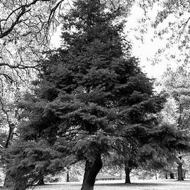 Evergreen in black and white by Bentley Davis