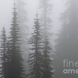 Evergreen Trees in Fog at Mount Rainier National Park by Tom Schwabel