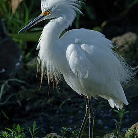 Excited Snowy Egret by Larry Nieland