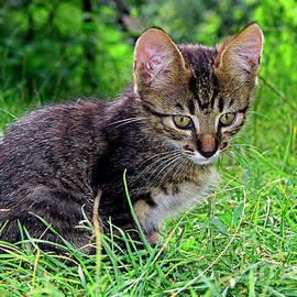 Explorer dark tabby kitten by Tibor Tivadar Kui