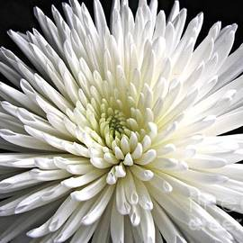 Explosion of White - Dahlia Macro by Kathryn Jones