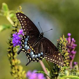 Exquisite Black Swallowtail  by Cindy Treger