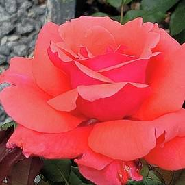 Exquisite Rose by Charlotte Gray