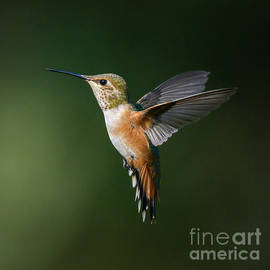 Extended Rufous Wings by Lisa Manifold