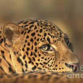 Face Of A Leopard by Rawshutterbug