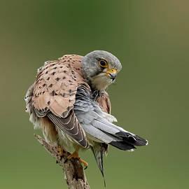 Falcon by Nicole Wiggerman