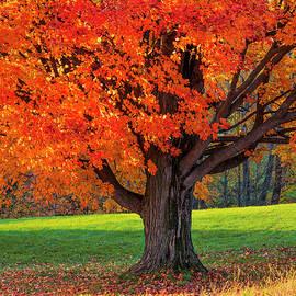 Fall Backyard Sugar Maple by Alan L Graham